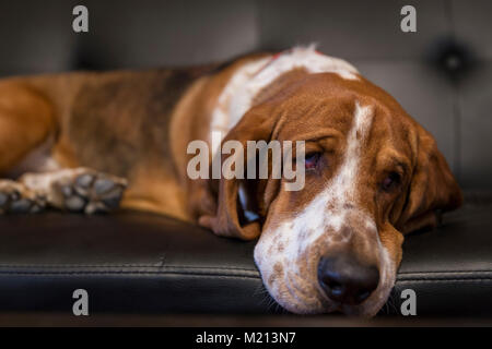 Sad Basset Hound Laying on Couch - Stock Photo