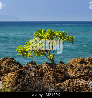 Lava Rock Plant at Sharks Cove, Oahu, Hawaii - Stock Photo
