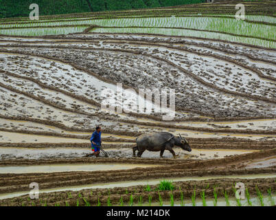 Lao Cai, Vietnam - Jun 1, 2016. A farmer working with buffalo on rice field in Lao Cai, Vietnam. - Stock Photo