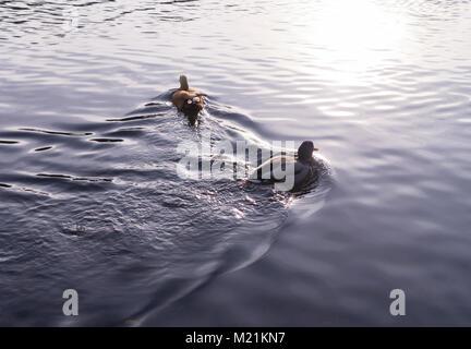 ducks on the park lake river at autumn sunset. background, animal - Stock Photo
