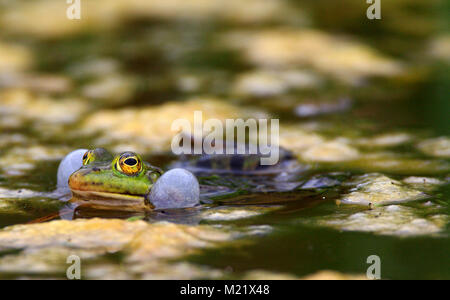 Single Edible Frog on water surface of wetlands by the Biebrza river in Poland during a spring mating period - Stock Photo