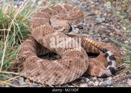 The western diamondback rattlesnake or Texas diamond-back(Crotalus atrox) is a venomous rattlesnake species in United - Stock Photo