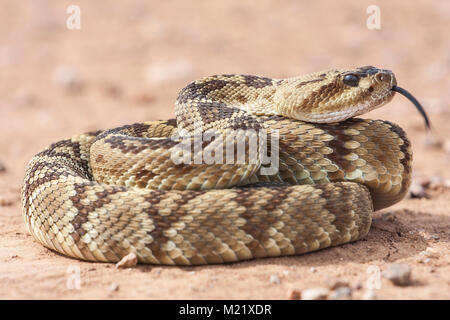 Crotalus molossus is a venomous pit viper species found in the southwestern United States and Mexico. Macro portrait. - Stock Photo