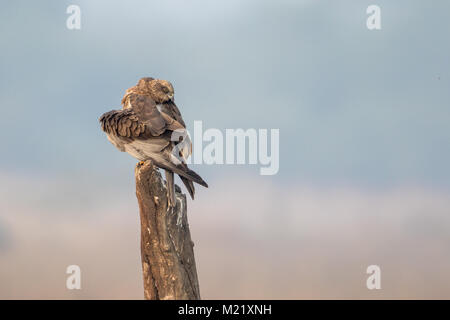 The western marsh harrier (Circus aeruginosus) bird preening at Bharatpur Bird Sanctuary in Rajasthan, India - Stock Photo