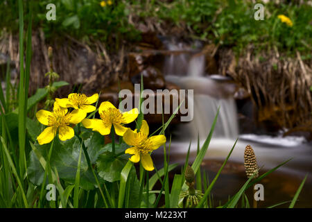 Caltha palustris flowers against the little waterfall - Stock Photo