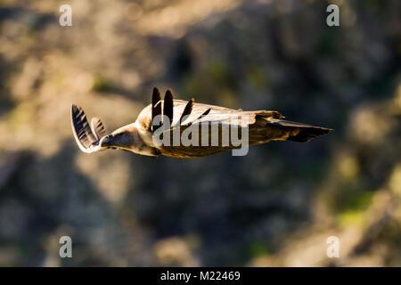 Griffon vulture Gyps fulvus in Extremadura, Spain - Stock Photo