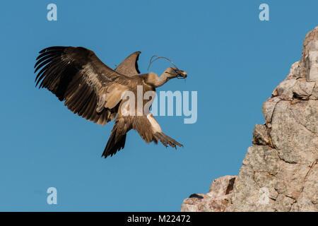 Griffon vulture Gyps fulvus in Extremadura - Stock Photo