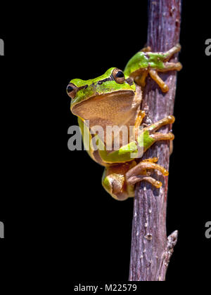 Climbing Tree frog (Hyla arborea) isolated on black background - Stock Photo
