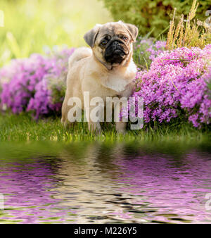 Puppy dog, Pug on the banks of the river, on the green grass near the pink flowers - Stock Photo