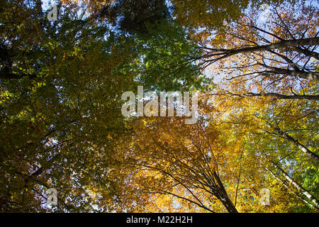 Treetops in Autumn Forest - View From Bellow - Stock Photo