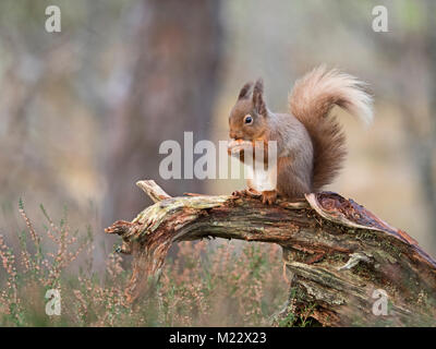 Red Squirrel Sciurus vulgaris Cairngorms National Park Scotland winter - Stock Photo