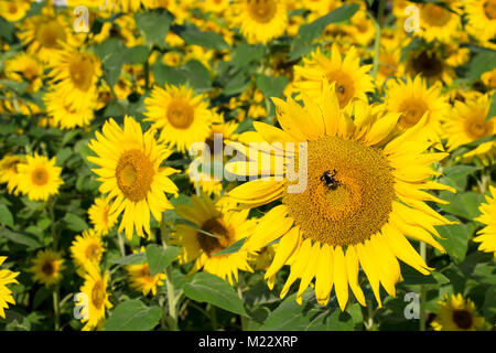 Busy at work, a bumble bee lands on a beautiful yellow sunflower in a field of color. Sunflowers welcome in summer - Stock Photo