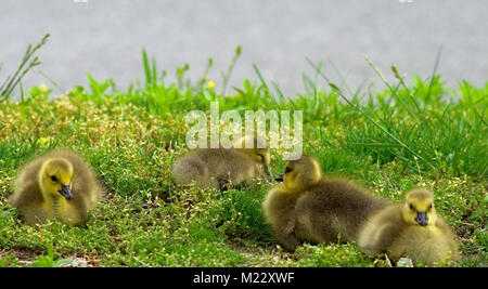 Group of cute Goslings in grass resting - Stock Photo