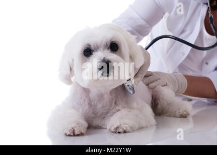 Veterinarian examining a cute maltese dog with a stethoscope on the table close up,isolated over white background - Stock Photo