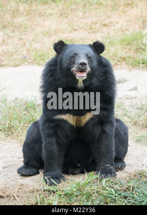 asiatic black bear in zoo - Stock Photo