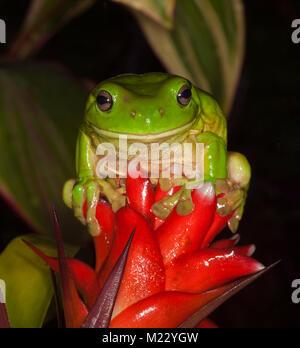 Vivid green Australian tree frog, Litoria caerulea, with wide grin on face, sitting on red flower of bromeliad (Guzmania), against dark background