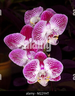 Cluster of spectacular vivid purple / magenta and white striped flowers of Phalaenopsis / moth orchid against dark - Stock Photo