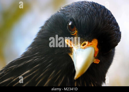 head of a curious looking adult striated caracara (phalcoboenus australis) falcon - Stock Photo