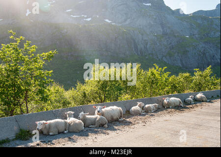 Driving through scenic summer landscape at Lofoten in northern Norway. Sheep on the road. - Stock Photo