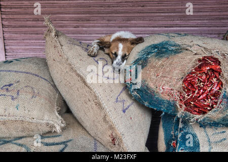 Let sleeping dogs lie, dog on top of chiles in the Khari Baoli Spice Market, Old Delhi, India - Stock Photo