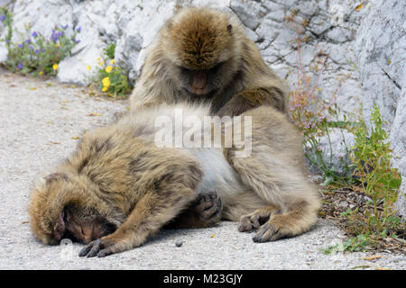 Gibraltar,Two grooming Barbary macaques, - Stock Photo