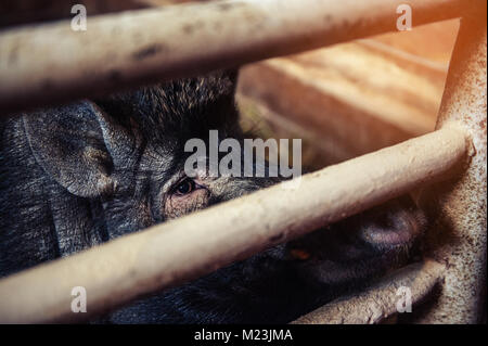 Closeup of the head hairy, black spotted pig looking at camera in a pen on the farm. - Stock Photo
