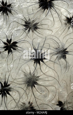 Seed Heads or Seed Head Patterns of Old Man's Beard or Traveller's Joy, Clematis vitalba - Stock Photo