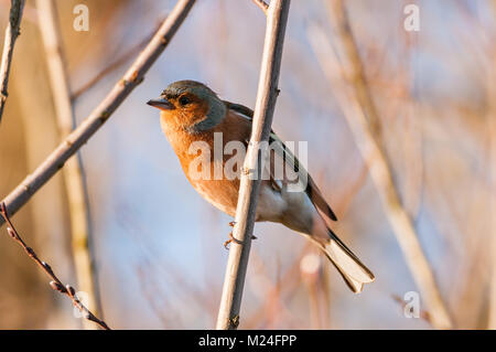 European robin or robin redbreast (Erithacus rubecula) perched on a branch in late afternoon light, Warwickshire - Stock Photo