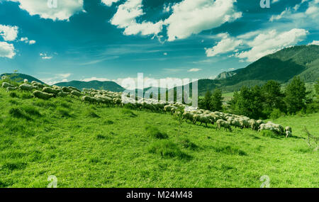 Sheep grazing on a green meadow during a sunny day. - Stock Photo