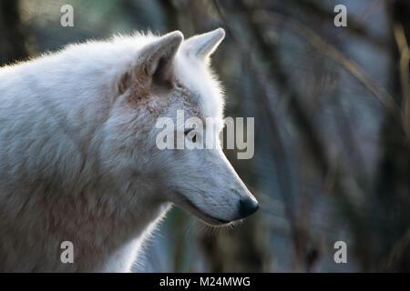 Luna, the arctic wolf - Stock Photo