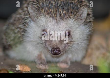 An African Hedgehog enjoying her dinner - Stock Photo