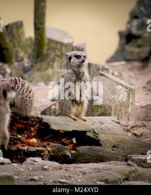 Meerkat in captivity - Stock Photo