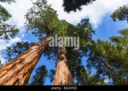 Looking up at tops of Sequoia Trees in Sequoia National Park, California, USA Stock Photo