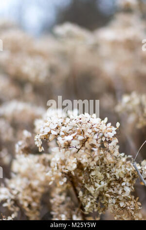 Dried hydrangea flower heads in winter with shallow depth of field, creating a lovely blurred, subdued backgorund - Stock Photo