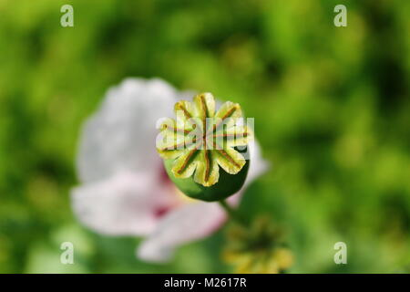 Papaver somniferum flowers and capsules in summer field - Stock Photo