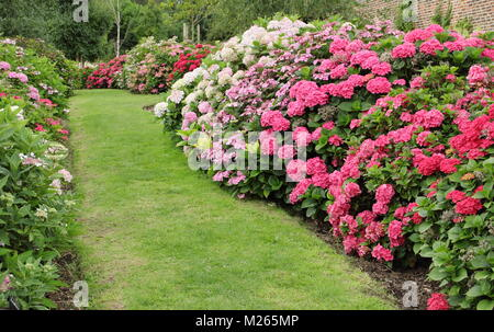 A part of the national hydrangea collection in the walled garden at Darley Park, Derby, East Midlands, England, - Stock Photo