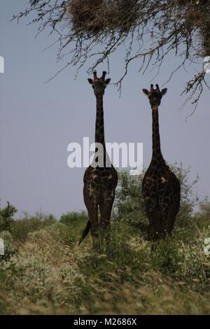On Safari in Tsavo West National Park - Stock Photo
