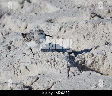 Sanderling in Bon Secour National Wildlife Refuge - Stock Photo