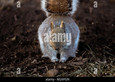 Close up of a common Eastern Gray Squirrel feeding on a forest floor. - Stock Photo