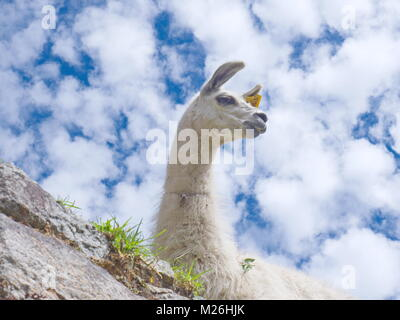 Looking up at a llama against a cloud spotted blue sky (lama glama) - Stock Photo