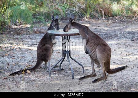Two Western Grey Kangaroos (Macropus fuliginosus) feeding on seeds put out for them on Molloy Island, near Augusta, - Stock Photo