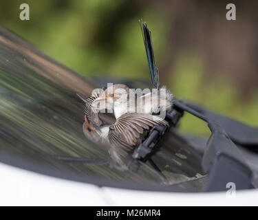 A female Splendid Fairy-wren (Malurus splendens) attacks its reflection in a car windscreen - Dunsborough, Western - Stock Photo