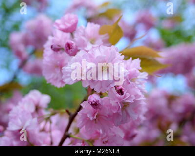 Beautiful close up of cherry blossoms over blue sky - Stock Photo