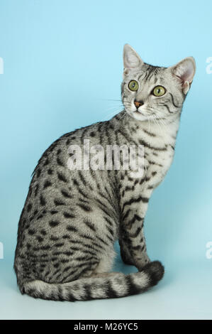 silver egyptian mau sitting on blue background - Stock Photo