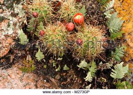 Wet Cactus, Lichen and Ferns growing together at Enchanted Rock in the Texas Hill Country. Blooming Barrel Cactus - Stock Photo