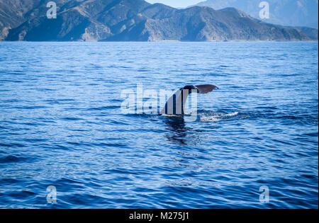 Whale tail in Kaikoura bay, New Zealand - Stock Photo