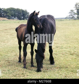 Friesian grazing whilst foal looks on - Stock Photo