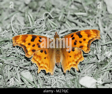 Satyr Comma (Polygonia satyrus) perched on woodland floor. - Stock Photo