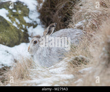 Mountain Hare Lepus timidus in their white winter coat in winter with a snowy background on the upland moors of - Stock Photo