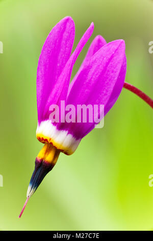 A macro closeup of a single Shooting Star flower in late spring at Eklutna Flats in Southcentral Alaska. - Stock Photo